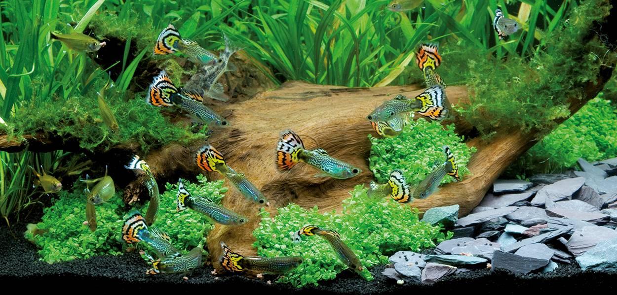 aquarium avec guppy