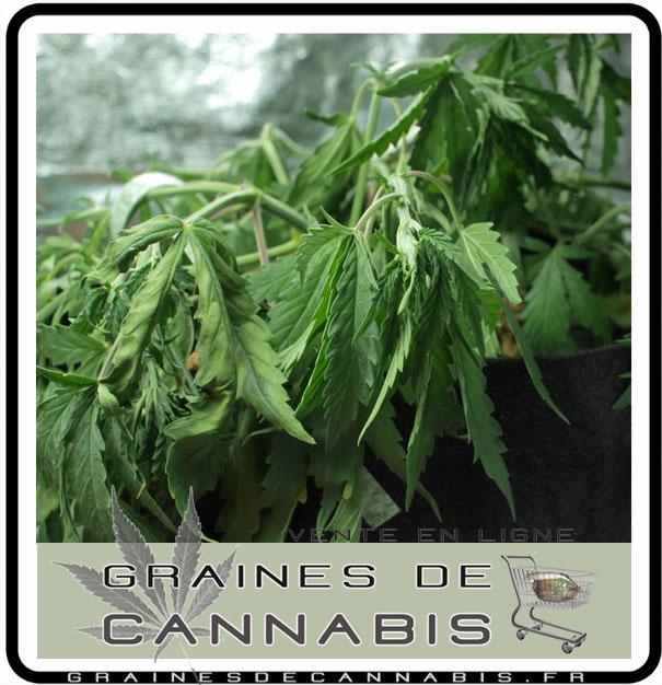 arrosage plante cannabis
