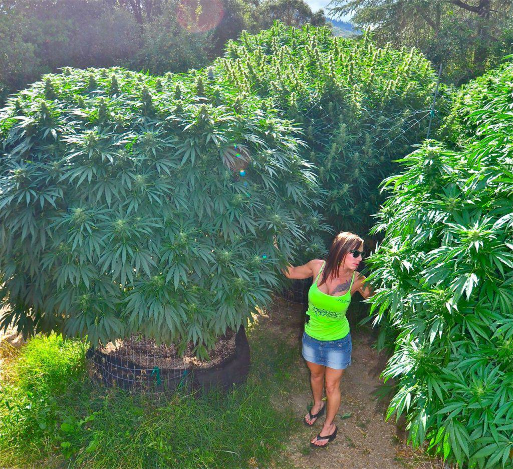 cannabis exterieur