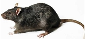 chasser souris appartement
