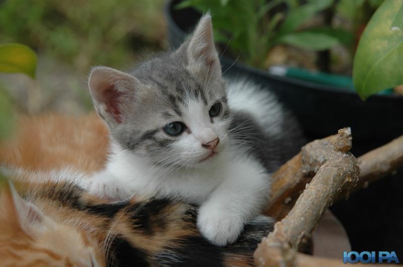 chat mignon gris et blanc